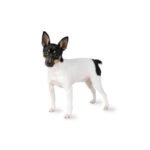 Petland Fairfield Toy Fox Terrier