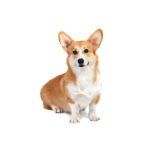 Petland Fairfield Pembroke Welsh Corgi