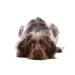 Petland Fairfield German Wirehaired Pointer