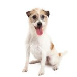 Petland Fairfield Jack Russel Terrier