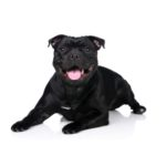 Petland Fairfield Staffordshire Bull Terrier