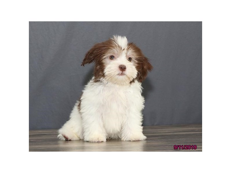 Havanese-Male-Chocolate / White-2467406-Petland Fairfield