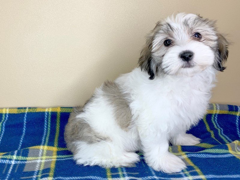 Havanese-Female-BROWN WHITE-2463697-Petland Fairfield