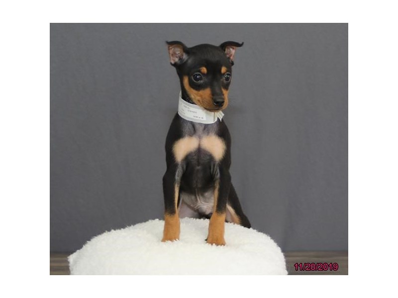 Miniature Pinscher-Male-Black / Rust-2539261-Petland Fairfield