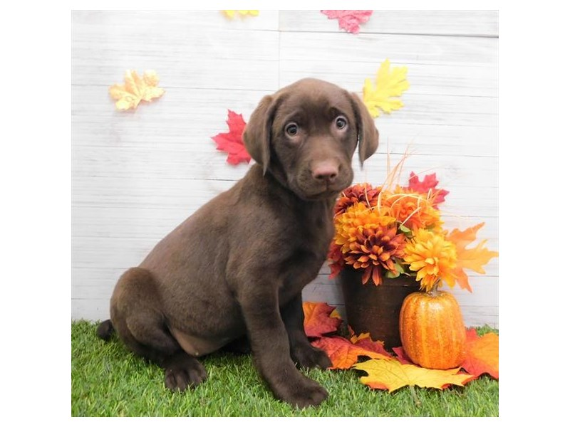 Labrador Retriever-Female-Chocolate-2524852-Petland Fairfield