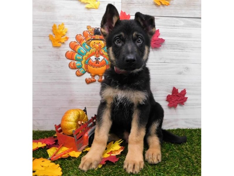 German Shepherd-Male-Black and Tan-2533517-Petland Fairfield