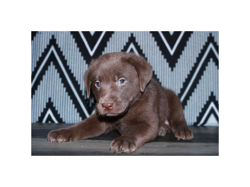 Labrador Retriever-Male-Chocolate-2539329-Petland Fairfield
