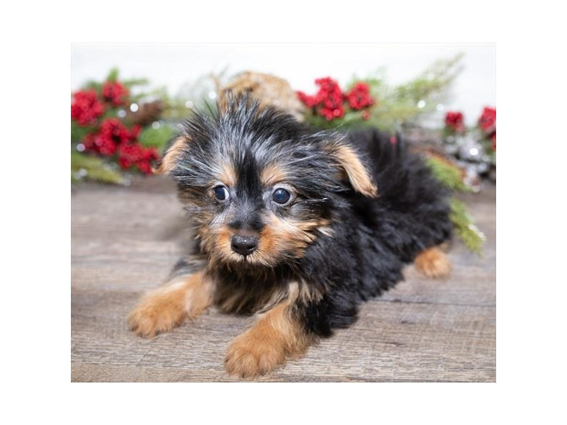 Yorkshire Terrier-Male-Black / Tan-2563374-Petland Fairfield