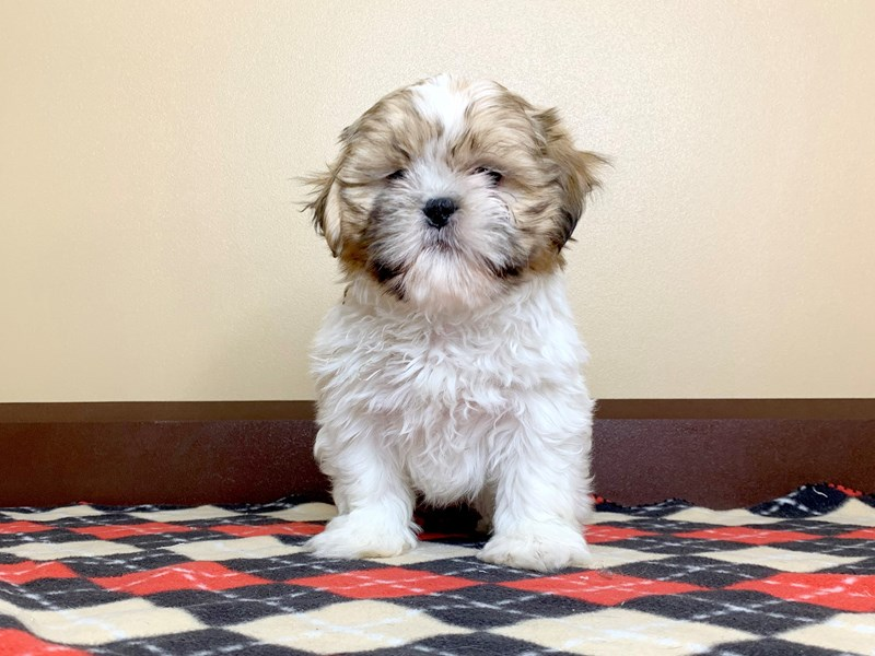 Shih Tzu-Male-Brown White-2543204-Petland Fairfield