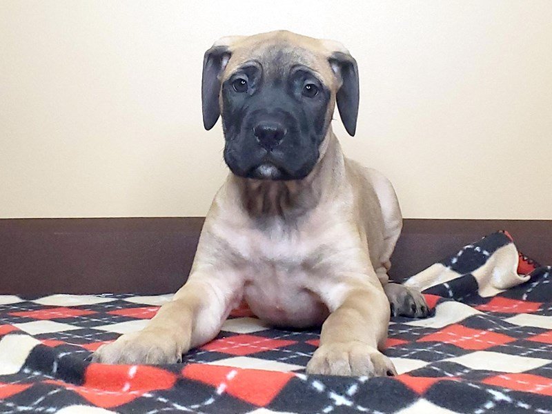 Bullmastiff-Male-FAWN:BLACK MASK-2542691-Petland Fairfield