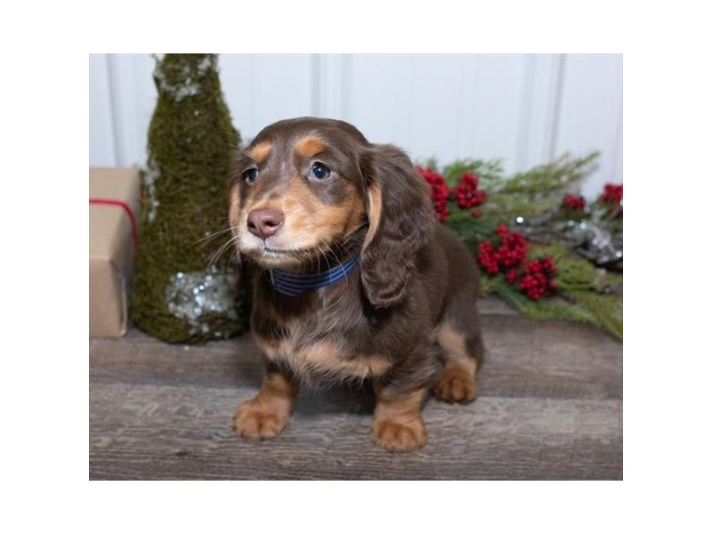 Dachshund-Female-Chocolate / Tan-2569485-Petland Fairfield