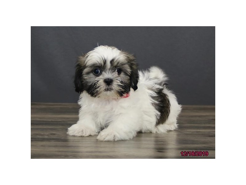 Shih Tzu-DOG-Female-Liver / White-2569516-Petland Fairfield