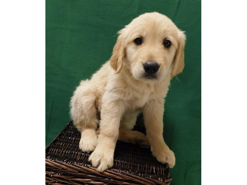 Golden Retriever-DOG-Female-Golden-2571788-Petland Fairfield