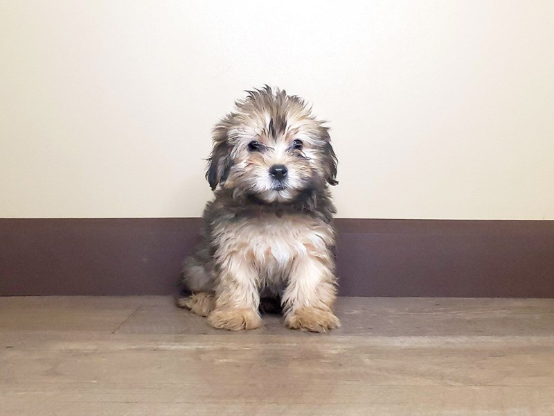 Morkie-Male-Red Sable-2571785-Petland Fairfield