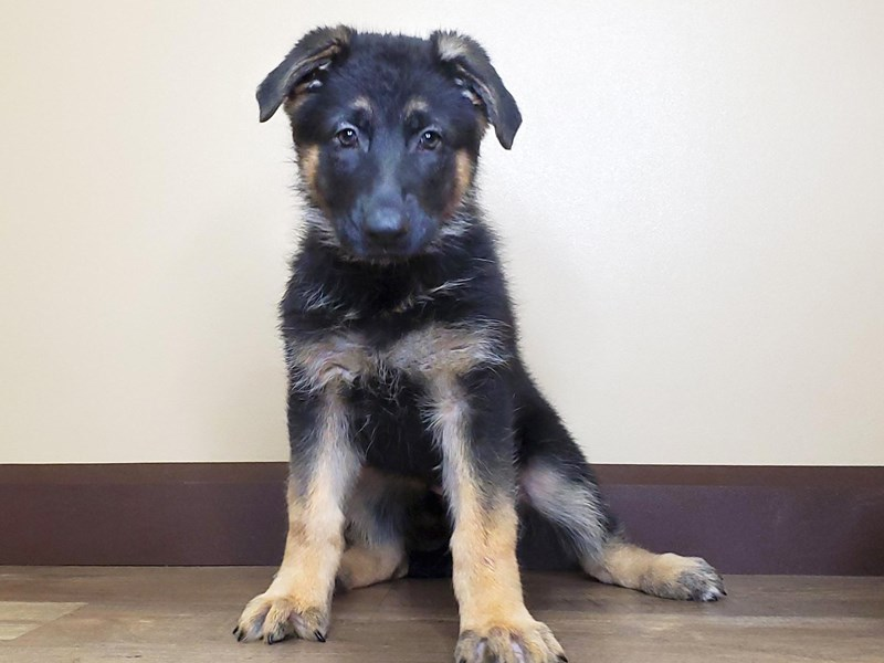 German Shepherd-Female-Black & Tan-2581855-Petland Fairfield