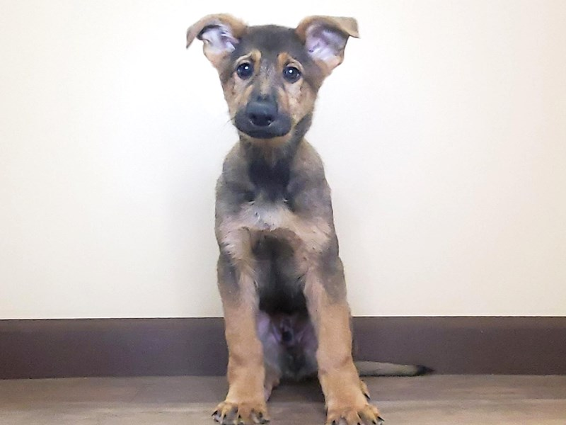 German Shepherd-Male-Sable-2598237-Petland Fairfield