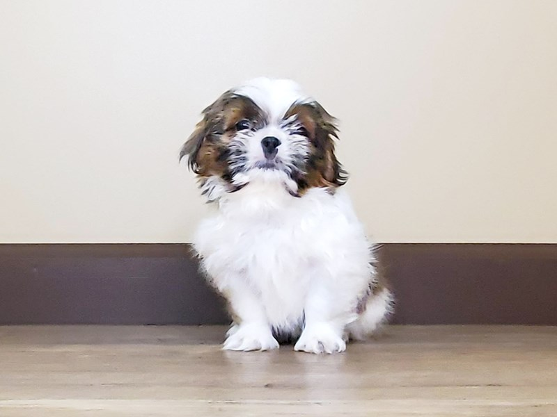 Shih Tzu-Male-Chocolate & White-2597557-Petland Fairfield