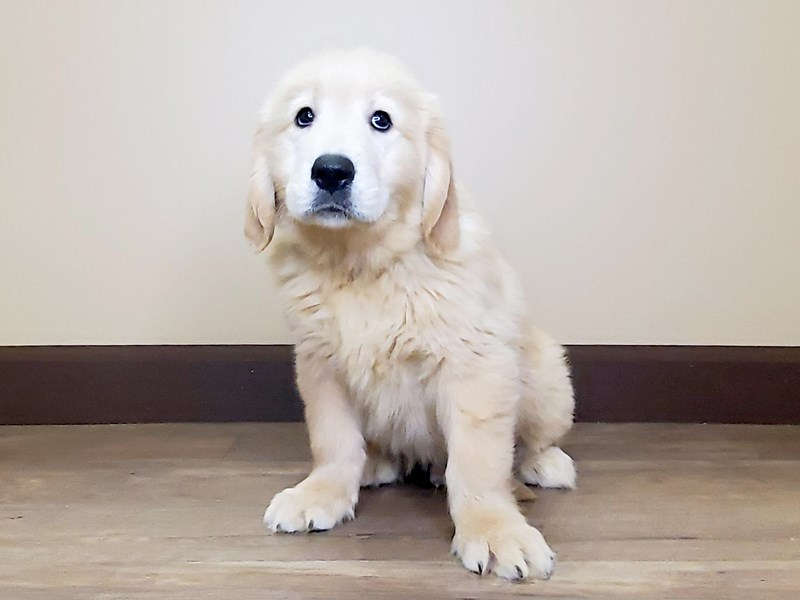 Golden Retriever-Male-Golden-2595750-Petland Fairfield