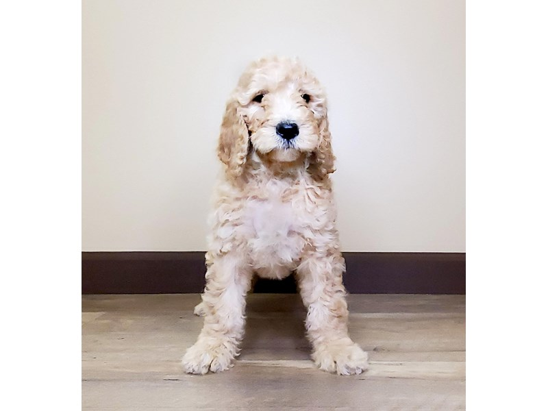 Goldendoodle-Female-RED-2595817-Petland Fairfield