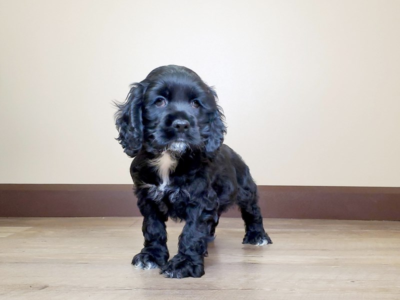 Cocker Spaniel-Male-Black-2598254-Petland Fairfield