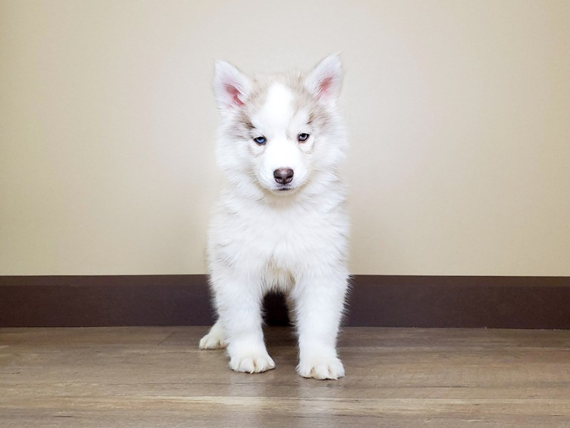 Siberian Husky-Female-CREAM & WHITE-2598245-Petland Fairfield