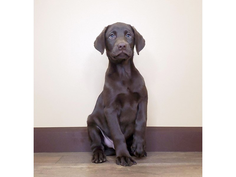 Labrador Retriever-DOG-Male-Chocolate-2588159-Petland Fairfield
