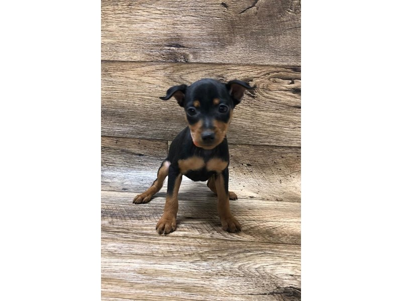 Miniature Pinscher-Female-Black / Tan-2620611-Petland Fairfield