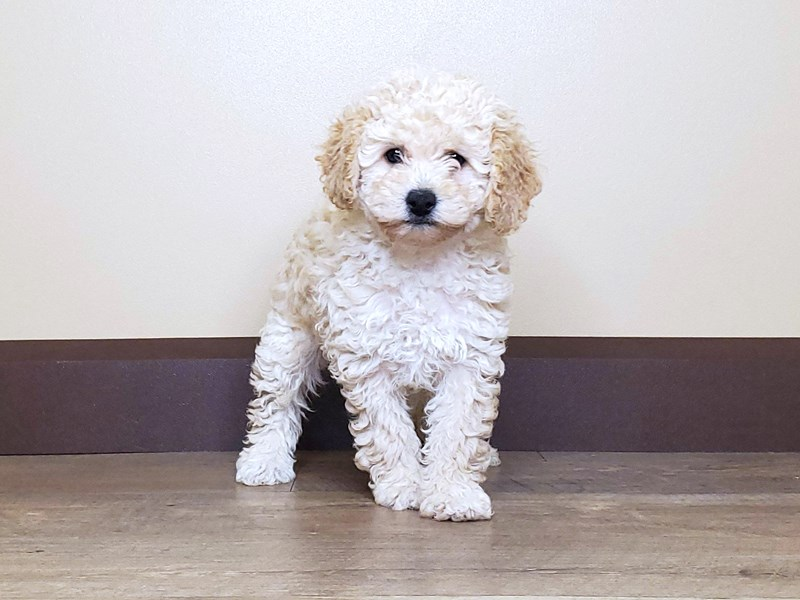 Poodle-Female-RED-2603695-Petland Fairfield