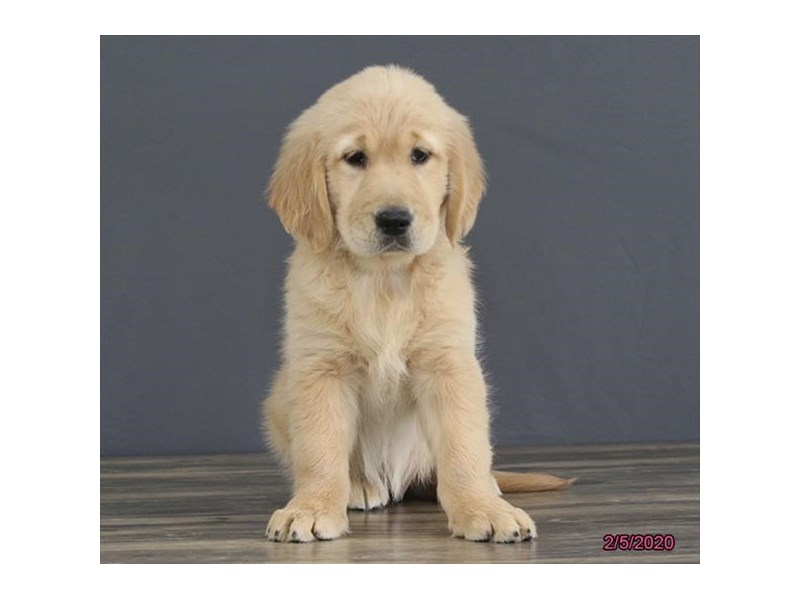Golden Retriever-Female-Golden-2621328-Petland Fairfield