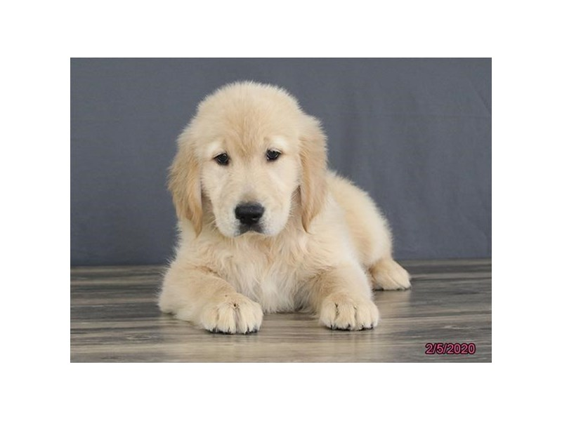 Golden Retriever-Male-Golden-2621330-Petland Fairfield