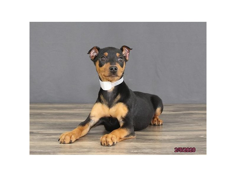 Miniature Pinscher-Male-Black / Tan-2621331-Petland Fairfield