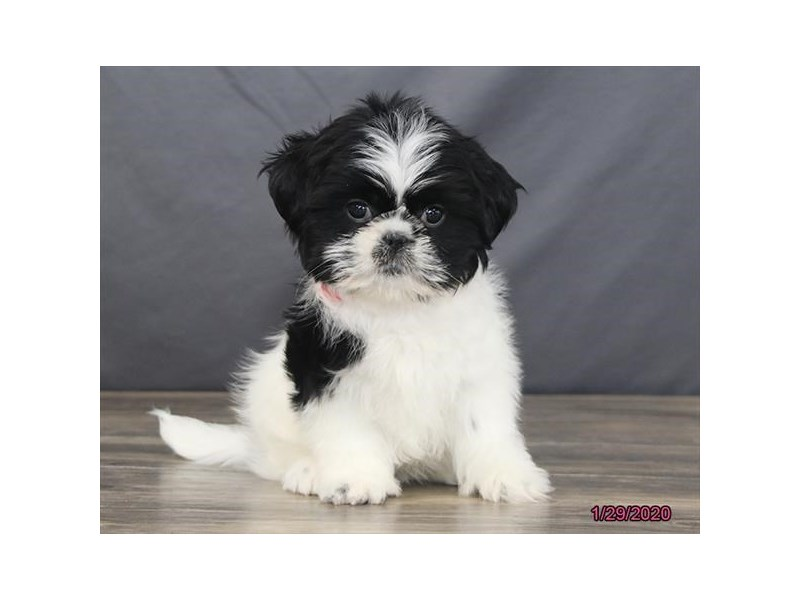 Shih Tzu-Female-Black / White-2627605-Petland Fairfield
