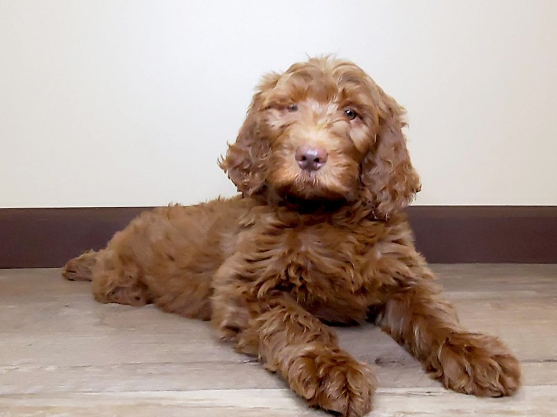 Goldendoodle-Female-Red-2624940-Petland Fairfield
