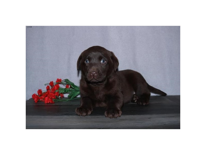 Labrador Retriever-Male-Chocolate-2634391-Petland Fairfield