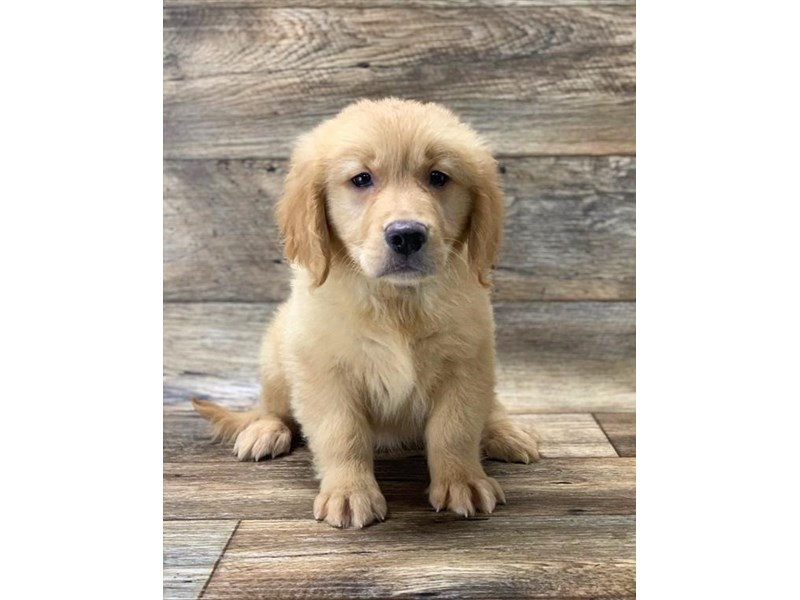 Golden Retriever-Male-Golden-2656340-Petland Fairfield