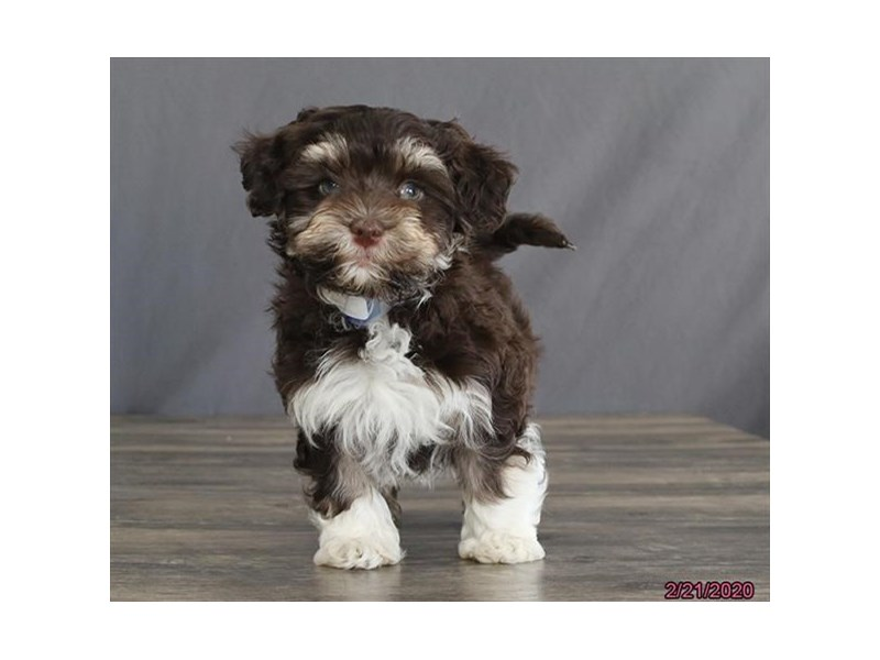 Havanese-Male-Chocolate-2641776-Petland Fairfield