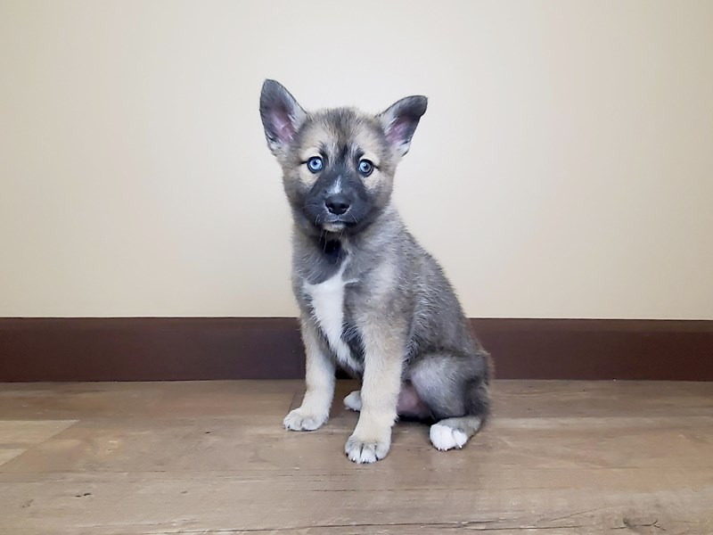 Pomsky-Male-Brown/White-2641893-Petland Fairfield