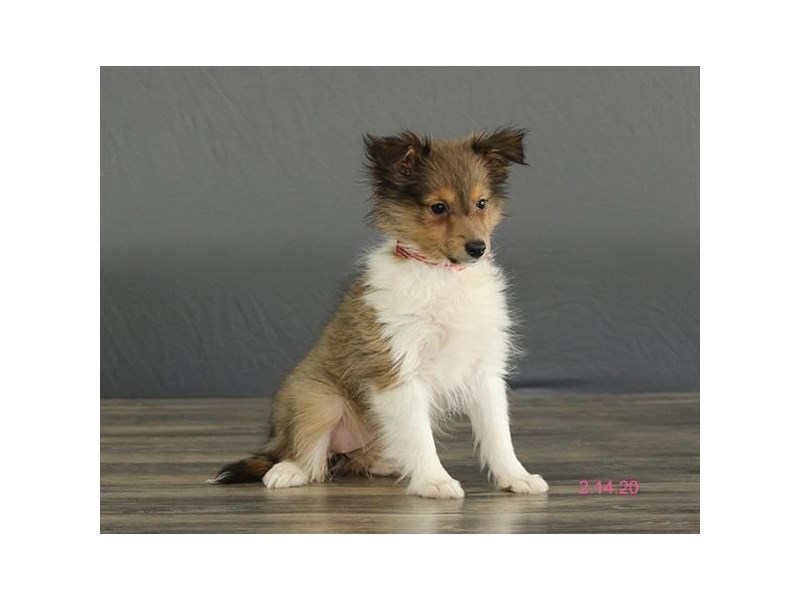 Shetland Sheepdog-Female-Sable / White-2649200-Petland Fairfield