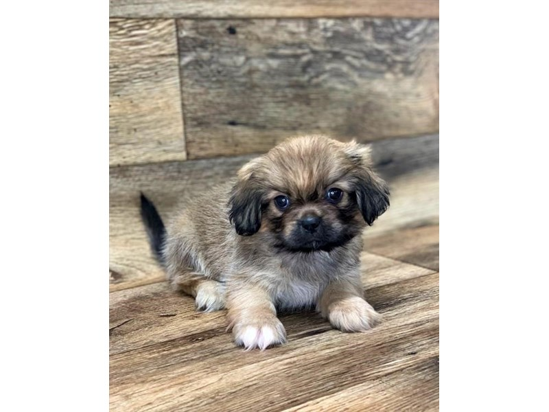 Pekingese-Female-Red Sable-2656343-Petland Fairfield