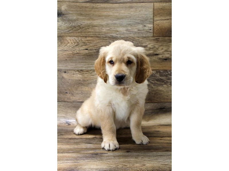 Golden Retriever-Female-Golden-2675009-Petland Fairfield