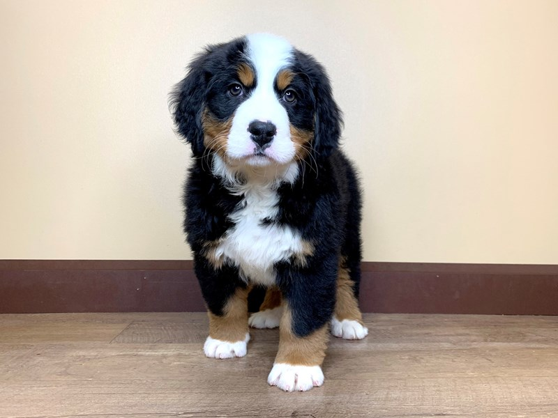 Bernese Mountain Dog-Female-BLACK/TAN/WHITE-2675667-Petland Fairfield