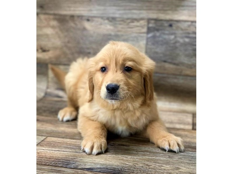 Golden Retriever-Male-Golden-2688168-Petland Fairfield