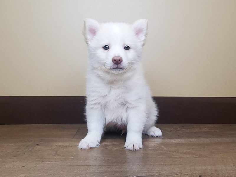 Pomsky-Male-CREAM WHITE-2679691-Petland Fairfield