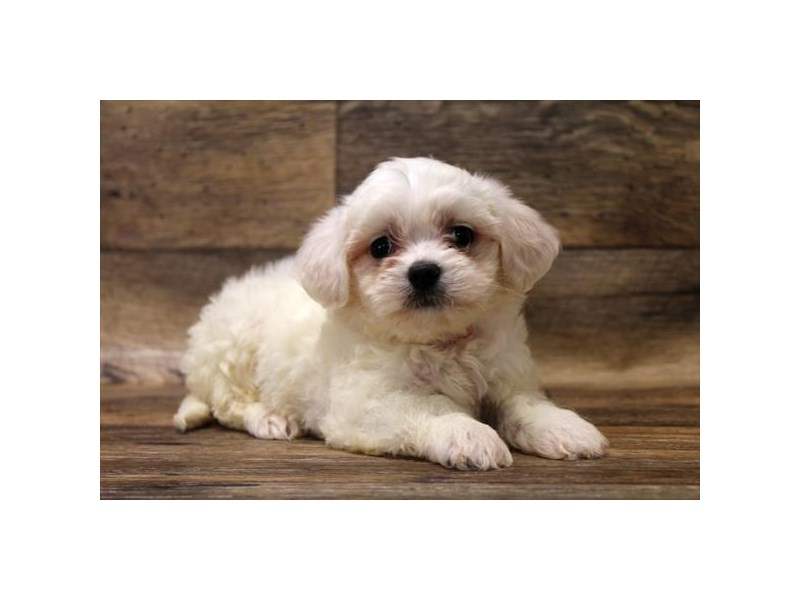 Maltipoo-Female-White-2694809-Petland Fairfield
