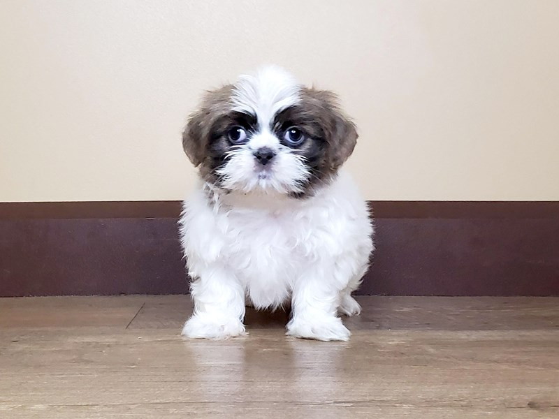 Shih Tzu-DOG-Male-Chocolate & White-2697596-Petland Fairfield