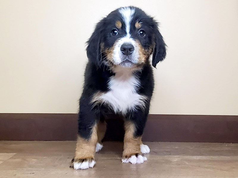 Bernese Mountain Dog-Male-BLACK/TAN/WHITE-2697567-Petland Fairfield