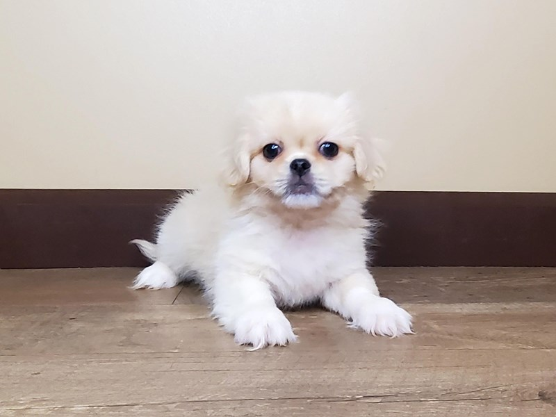 Pekingese-Male-Cream-2708306-Petland Fairfield