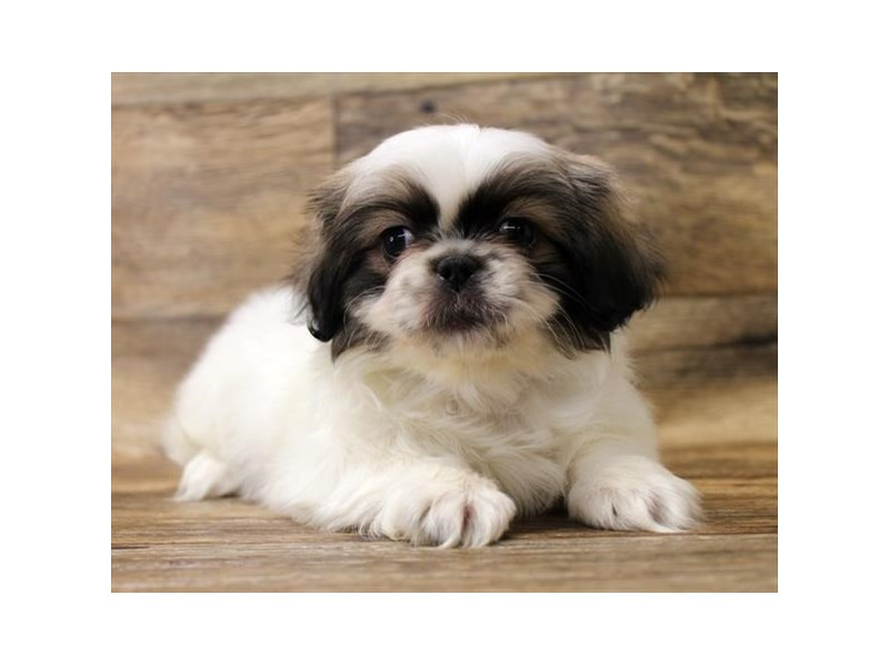 Pekingese-Female-Fawn Sable-2721878-Petland Fairfield