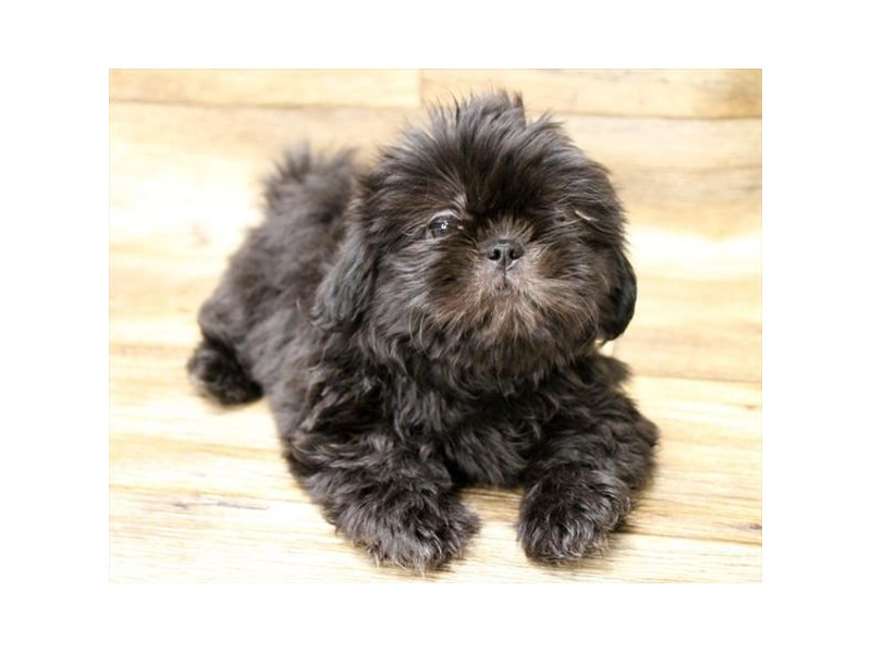 Shih Tzu-DOG-Female-Black-2721881-Petland Fairfield