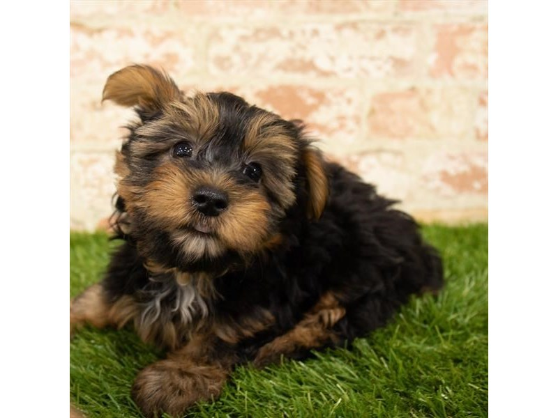 Yorkshire Terrier-Male-Black / Tan-2746349-Petland Fairfield